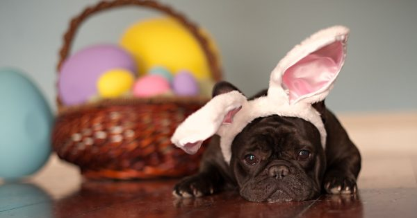 French bulldogm lying against Easter eggs